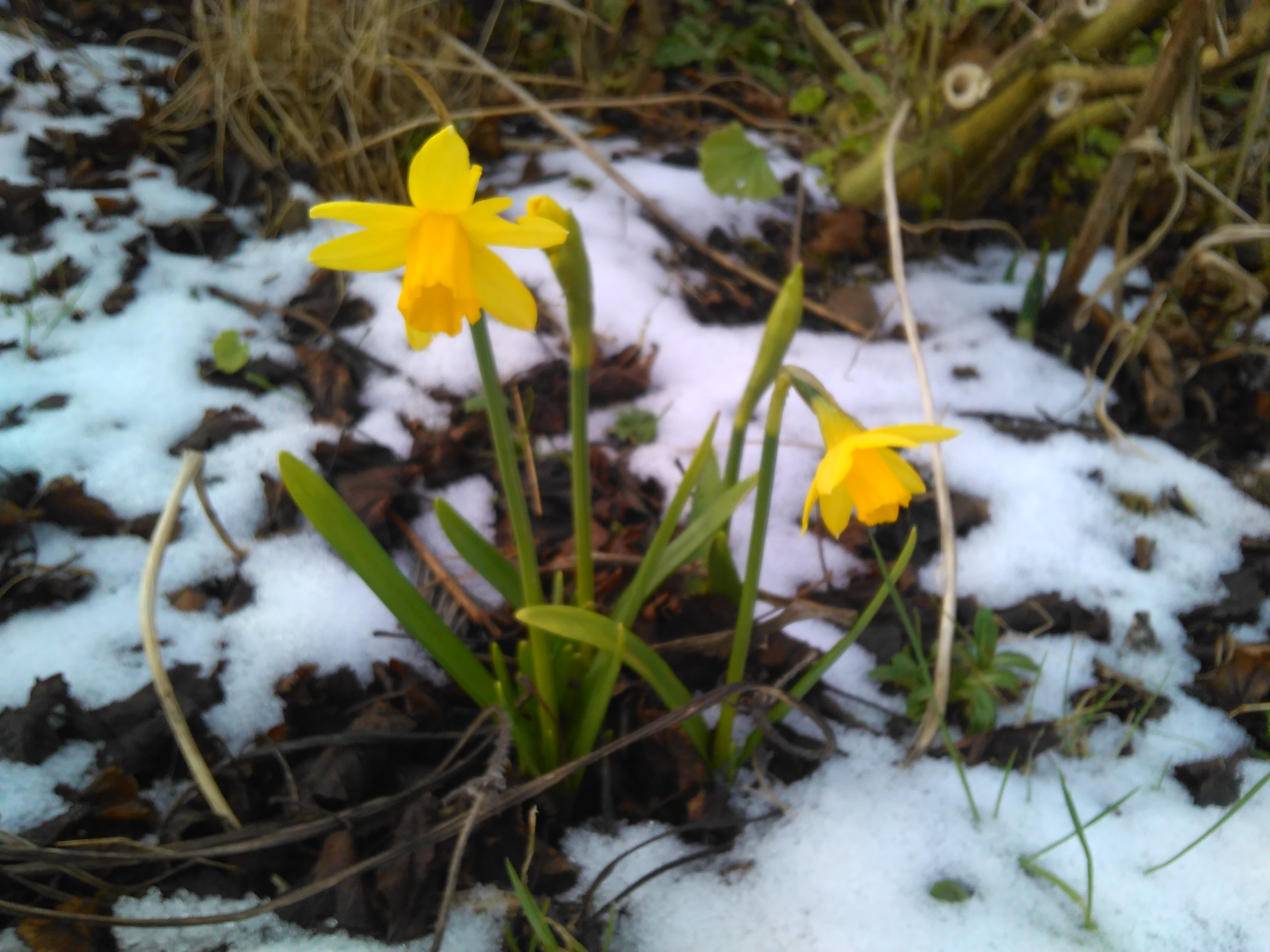 Daffs in snow, Gabrielle Barnby, Living Orkney, writer
